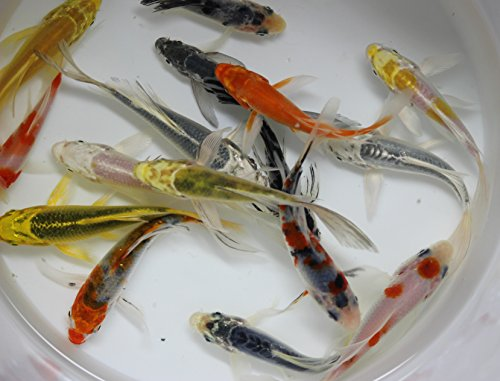 (10 pack of 3-4 inch live select butterfly koi)