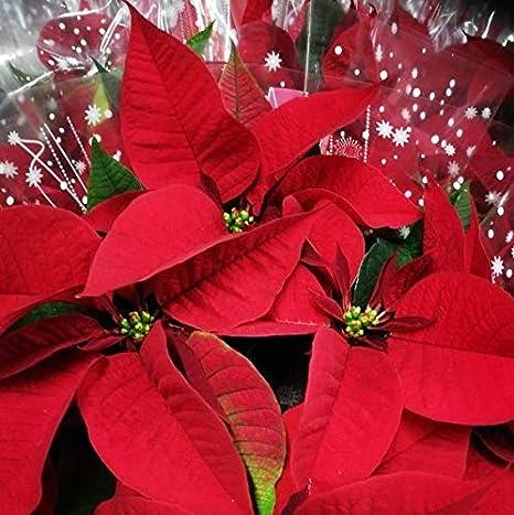Foto Stella Di Natale.Stella Di Natale Rossa Vera Pianta Natalizia Euphorbia Pulcherrima Vaso O8 10cm Amazon It Giardino E Giardinaggio
