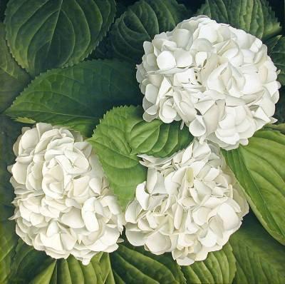 Saavyseeds Very White Hydrangea Seeds - 55 Count