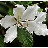 50 White Orchid Tree Seeds, Bauhinia Variegata Var. Alba