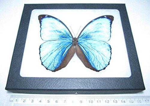 BicBugs Real Framed Butterfly Blue Morpho Menelaus Peru
