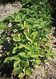 Fragaria (Strawberry) vesca Alexandria 2,000 Seeds