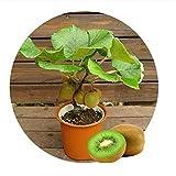 Kiwi fruit seeds, Mini Kiwi Fruit Seeds flower,plants,delicious mini kiwi Vegetable seeds
