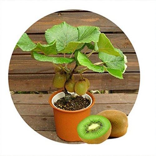Kiwi fruit seeds, Mini Kiwi Fruit Seeds flower,plants,delicious mini kiwi Vegetable seeds nikstoreinus