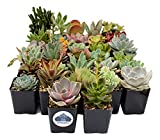 Fat Plants San Diego Premium Succulent Plant Variety Package. Live Indoor Succulents Rooted in Soil in a Plastic Growers Pot (32)