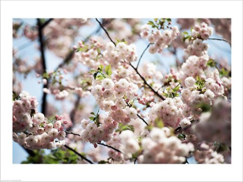 - Close-up of Cherry Blossoms, Ryoanji Temple, Kyoto, Japan Laminated Art Print, 27 x 20 inches