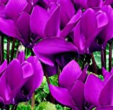 Live Potted Plant Dark Purple Cyclamen Persicum Hardy in Zones 4-10, Nice size Plant