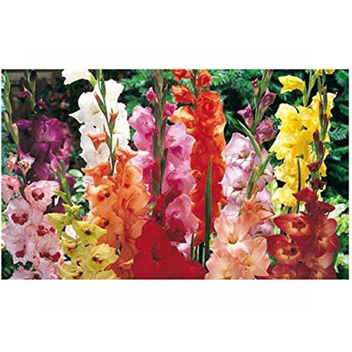 A to Z 82010 Gladioli Mixed 20 Bulbs, Multi-Colour, 9 x 23 x 16 cm Padgett Bros
