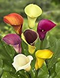 Calla Lily Bulb Mix - 10 Pack - 10 Different Colors