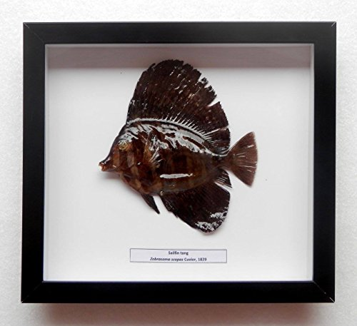 (05077 Real Frame Fish Taxidermy Twotone tang - Zebrasoma scopas)