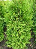 Brabant Lebensbaum Thuja occidentalis Brabant 100 - 125 cm hoch im 5 Liter Pflanzcontainer