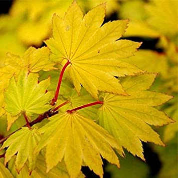 Special Deal Acer Shirasawanum Aureum Golden Leaf Full Moon