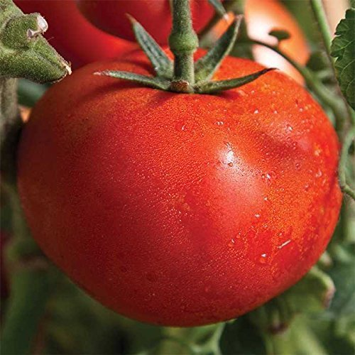 early tomato - 2