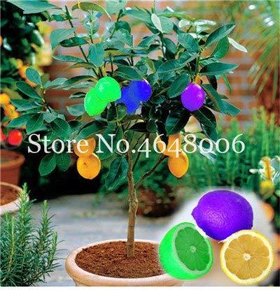 - 50 pcs Edible Fruit Meyer Lemon Seeds Plants Exotic Colorful Citrus Limon Tree Fresh Fruit Vegetable Plants high Survival Rate: c