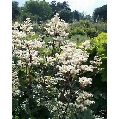 Rodgersia aesculifolia UNUSUAL PERENNIAL Seeds! : Garden & Outdoor