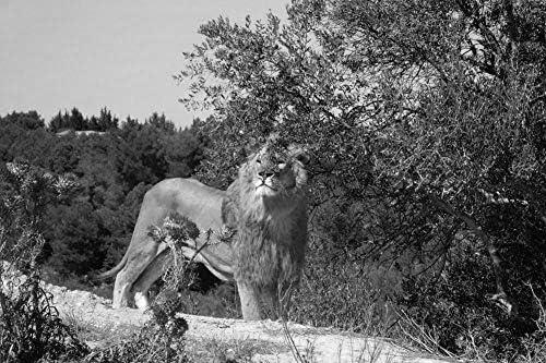ライオンの壁紙-動物の壁紙-#25904 - 白黒の キャンバス ステッカー 印刷 壁紙ポスター はがせるシール式 写真 特大 絵画 壁飾り120cmx80cm