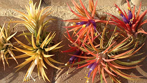 100 Pack Airplant Ionatha Wholesale Tillandsias #TN01 by Mplant (Image #1)
