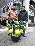 SALE! Bonsai Fruit seeds 10pcs Hardy Mini Pummello Pomelo Pomello tree Dwarf kao Pan Grape fruit! Rare