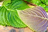 "1000 KOREAN PERILLA SEEDS,""Shiso"" (Perilla Frutescens) Korean specialty Herb"