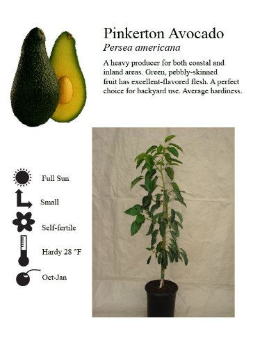 pinkerton-avocado-tree-five-gallon