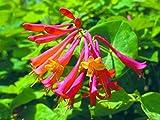 "Honey Coral Honeysuckle Vine - Lonicera - 4"" Pot"