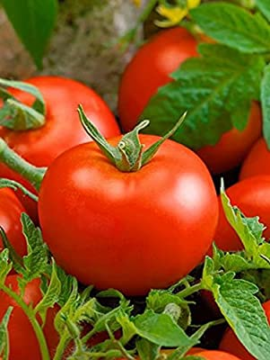Bonnie Best Tomato - 20 Seeds - Great for Canning
