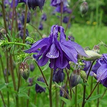 Dwarf/European Columbine Seeds - Packet, Blue/White/Red/Violet/Pink Flowers