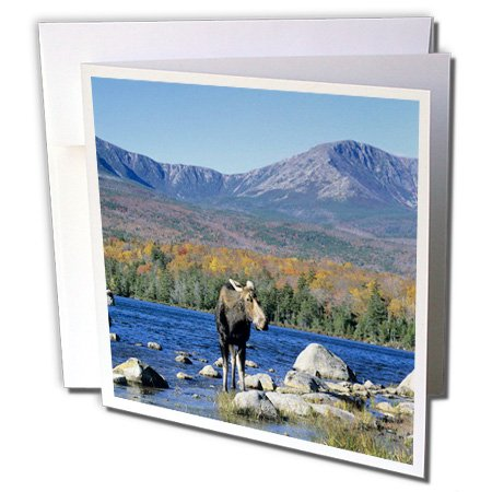 Cow moose wildlife, Mt. Katahdin, Baxter SP, Maine - Greeting Card, 6 x 6 inches, single (Cow Moose)