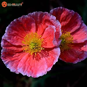 Iceland Poppy Mixed Colors Cut Flower Seeds DIY Home Garden Plant 200 Particles / lot