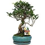 Exotenherz.de - Bonsai di Ficus retusa cinese, 8 anni