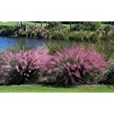 3 Pink Muhly Grass in 4 Inch Containers (3 Pots of Plants)
