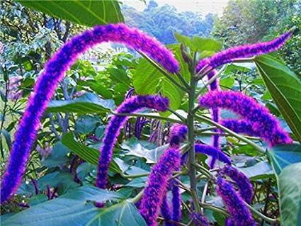 Amazoncom Kasuki Bonsai Acalypha Hispida Chenille Plant Red Hot