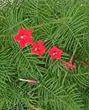 Seeds and Things 20 Seeds RED CYPRESS VINE (Star Glory / Hummingbird Vine) Ipomoea Quamoclit Flower
