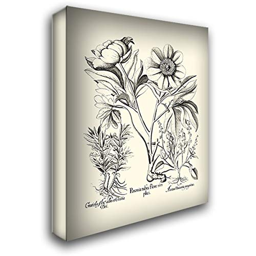 - Black and White Besler Peony IV 36x46 Extra Large Gallery Wrapped Stretched Canvas Art by Besler, Basilius