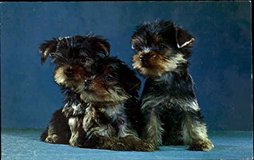 Purebred Yorkshire Terrier Puppies Dogs Original Vintage Postcard