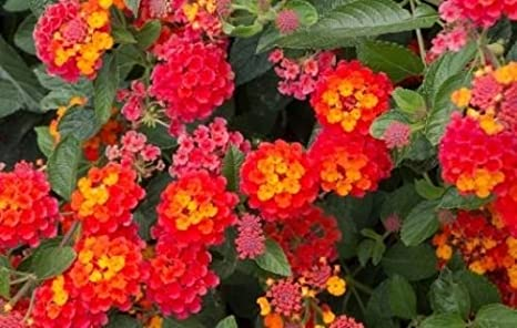 Amazon lovelygarden 2 plantsntana radiation red orange lantana radiation red orange flowering bush live potted mightylinksfo