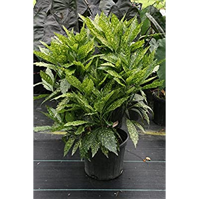 Gold Dust Plant aka Aucuba Japonica Live Plant Fit 5 Gallon Pot : Garden & Outdoor