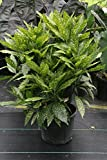 Gold Dust Plant aka Aucuba Japonica Live Plant Fit 5 Gallon Pot