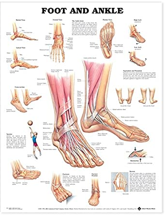 Foot And Ankle Anatomical Chart Company Amazon Business