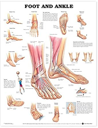 Amazon Com Foot And Ankle Anatomical Chart Anatomical Chart Company Industrial Scientific
