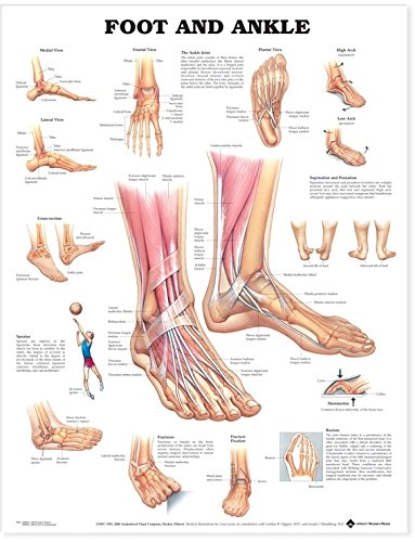 Amazon Foot And Ankle Anatomical Chart Anatomical Chart