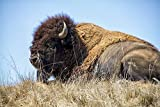 Home Comforts Framed Art for Your Wall Buffalo Bison Wildlife Animal Horns Brown 10x13 Frame