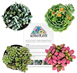 Altman Plants Succulents Fairy Garden Collection 4 Pack, 2.5''
