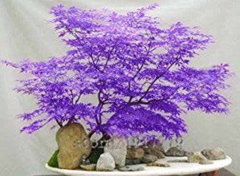 BeeSpring 30pcs / purple Japanese maple seeds, rare indoor bonsai tree seeds. Home & Garden purple Japanese maple