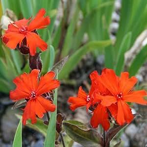 Plant World Seeds - Lychnis Arkwrightii Seeds