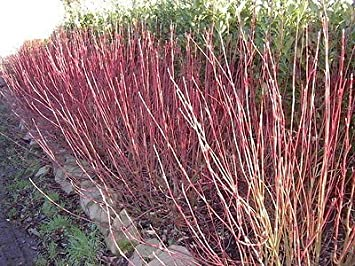 Red Stem Dogwood BARE ROOT hedging Plants x 50 Free Delivery! Height:60-90cm