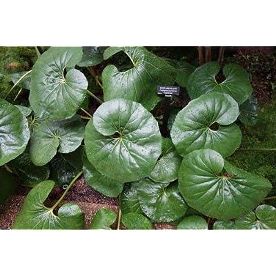 Farfugium japonicum Gigantea GIANT LEOPARD PLANT - Seeds! : Garden & Outdoor