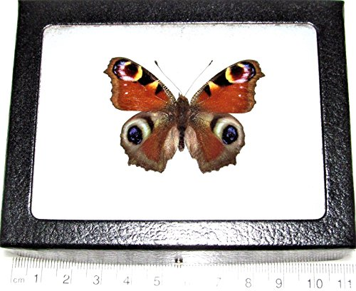 - Bicbugs, LLC Real Framed Butterfly RED Purple Blue INACHIS IO Buckeye Europe