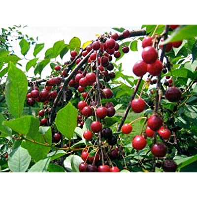 Grandiosy Sweet Cherry Seeds 5 Seeds Prolific YIELDING Sweetest Flavor : Garden & Outdoor