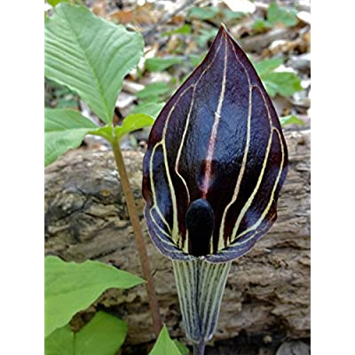 True Source Seeds - Jack in The Pulpit Arisaema Consanguineum Himilayan Cobra Lily Perennial 10 Seed : Garden & Outdoor